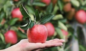 Apple can be eaten by kidney patients